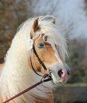 Haflinger dekhengst Woody van Seadrift liz. 509/nl