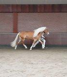 Haflinger dekhengst Woody van Seadrift liz. 509/nl_
