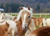 Het fijne van opgroeien bij de fohlenhof is dat ze met veel leeftijdsgenootjes zijn.